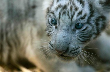 A one-month old white tiger rests at the Metropolitan Zoo in Santiago on Jan. 6, 2010. The five white tigers were born on Dec. 28, 2009. (REUTERS)