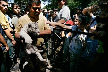Workers of the Metropolitan Zoo hold one-month old white tiger cubs in Santiago on Jan. 6, 2010. The five white tigers were born on Dec. 28, 2009. (REUTERS)