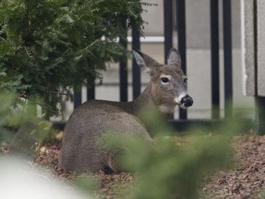 A team of animal control officers, wildlife officials and Toronto Police have successfully captured a deer on the loose in downtown Toronto on Tuesday morning. (SUN MEDIA/Stan Behal)