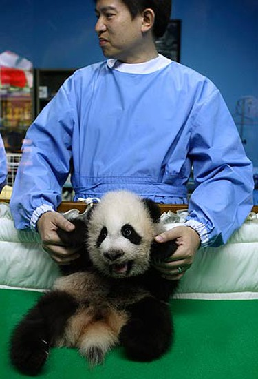 A veterinarian holds the panda cub Lin Ping at Chiang Mai Zoo, north of Bangkok, on Sept. 4, 2009. The 101-day-old cub was born at the zoo to its mother Lin Hui. (REUTERS)