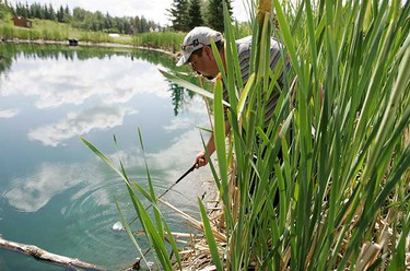 Kent Fukushima of Grande Prairie, Alberta searches for his ball in a water hazard on the 18th hole of the Glendale Golf Club on July 3 during the second round of the Telus Open. (Jordan Verlage/Sun Media)