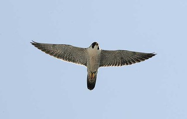 One of the peregrine falcons takes to the sky. (KEN ARMSTRONG/Sun Media)