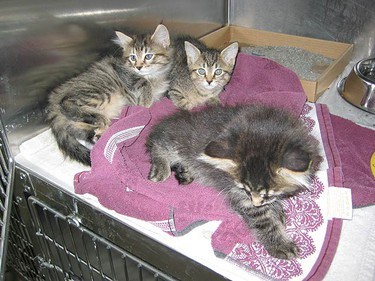 Between Canada Day and July 5th the Toronto Humane Society will be holding an adoption blitz to help some of the 400 cats in their shelters - including the ones seen here. Go to www.torontohumanesociety.com for more details. (Toronto Humane Society photo)