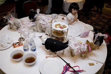 Woofstock 2009 kicks off its promotional event of a doggie Wedding High Tea with all proceeds going to the canine cancer survivors. The marriages took place at the King Edward Hotel in Toronto. (VERONICA HENRI, Sun Media)