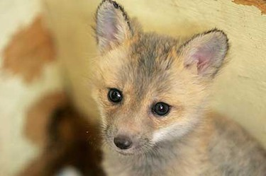 This baby fox is one of two fox cubs rescued by an 11-year-old Tofield girl after the cubs were orphaned and slightly injured by a grass fire. They are now recovering at the Wildlife Rehabilitation Society of Edmonton.  (JORDAN VERLAGE/Sun Media)