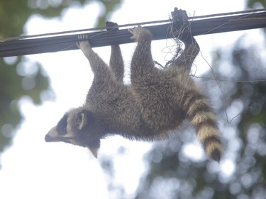 A high-wire act by an adventurous raccoon has given residents in an east-end neighbourhood a tail to watch. The wires are believed to be telephone and cable.  (JACK BOLAND, Sun Media)