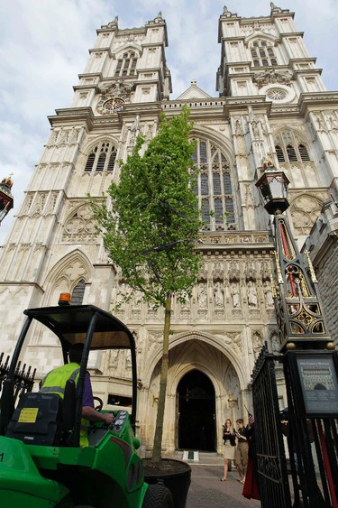 A worker move an English field Maple tree in preparation for the Royal wedding into Westminster Abbey in London, April 26, 2011. (REUTERS/Sang Tan/Pool)