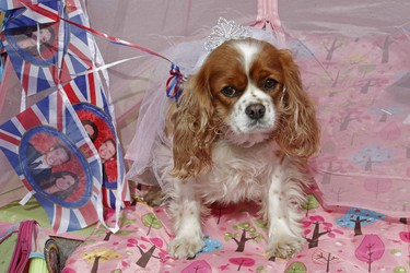 Camilla, King Charles spaniel, sits in a tent with fans camping in the street waiting for the wedding of Britain's Prince William and fiancee Kate Middleton at Westminster Abbey in London April 27, 2011. (REUTERS/Luke MacGregor)