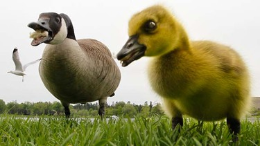 A mother goose and her baby gosling enjoys a free snack near Dow's Lake in Ottawa Sunday May 22, 2011. (TONY CALDWELL/QMI AGENCY)