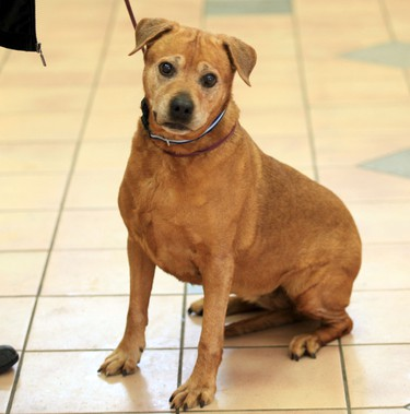 Tilley, a senior female Labrador mix, is available for adoption at the City of Winnipeg Animal Services Agency. (MARCEL CRETAIN/Winnipeg Sun)