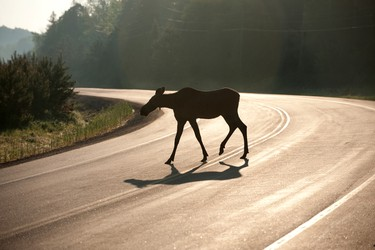 Algonquin Provincial Park is in southeastern Ontario, east of Georgian Bay and there is only one road, namely Highway 60, that runs through it. Slow down to enjoy the beautiful scenery and wildlife. (Shutterstock.com)