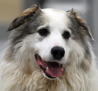 Meet Lassie. No, the six-year-old husky mix is neither a collie nor the perfect dog, but she can save you from going for walks all by yourself, cuddle-free evenings and the occasional abandoned mineshaft. Lassie and her friends are available for adoption at the Winnipeg Humane Society. Visit them at 45 Hurst Way or call 982-2021. (BRIAN DONOGH/Winnipeg Sun)