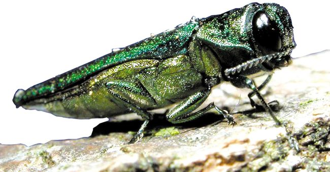 The highly destructive emerald ash borer. (QMI Agency files)