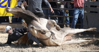 """Skyler McBride falls to the ground along with the bull """"Sippin Velvet"""" during the final day of the Bulls for Breakfast at the Big Valley Jamboree in Camrose, AB on July 31, 2011. LAURA PEDERSEN/EDMONTON SUN QMI AGENCY"""
