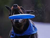 Dog catches a frisbee during the Russian dog frisbee championship in Moscow