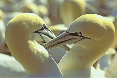 Quebec: Upwards of 70,000 northern gannets gathered on Bonaventure Island in the Gulf of St. Lawrence, just off the village of Gaspe. You can walk to within two metres of the nesting area. (Shutterstock)