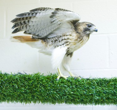 A red-tailed hawk that was brought in with a broken beak and really thin. (TORONTO SUN / Ernest Doroszuk)