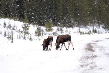 A pair of bull moose lick up  the road salt from where my truck was parked along Smith-Dorrien Trail in Spray Lakes Provincial Park west of Calgary, Alberta, on November 29, 2011. MIKE DREW/CALGARY SUN/QMI AGENCY