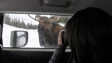A second bull moose came out of the trees to lick the road salt off my truck along Smith-Dorrien Trail in Spray Lakes Provincial Park west of Calgary, Alberta, on November 29, 2011. My pal Melanie takes a picture as he poses. MIKE DREW/CALGARY SUN/QMI AGENCY