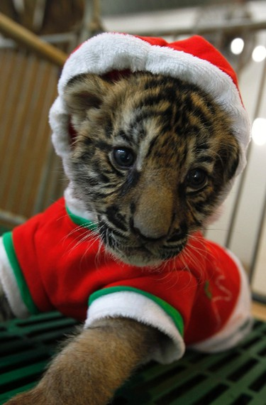 A tiger cub dressed as Santa Claus is seen on Christmas Eve at the Sriracha Tiger Zoo in Thailand's Chonburi province, about 100 km (62 miles) east of Bangkok December 24, 2011. REUTERS/Sukree Sukplang (THAILAND - Tags: SOCIETY RELIGION ANIMALS)