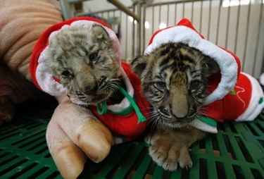 Tiger cubs dressed as Santa Claus are seen near a sow on Christmas Eve at the Sriracha Tiger Zoo in Thailand's Chonburi province, about 100 km (62 miles) east of Bangkok December 24, 2011. REUTERS/Sukree Sukplang (THAILAND - Tags: SOCIETY RELIGION ANIMALS)