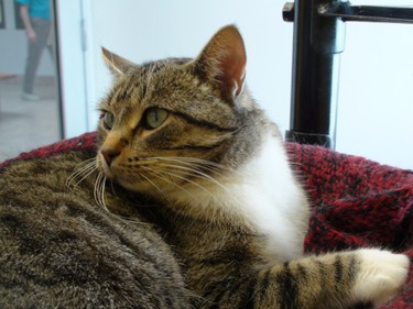 Helena is a six-year-old female brown tabby, available for adoption at the Winnipeg Humane Society.  (SEAN CAMPBELL/Winnipeg Sun)