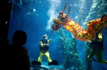 Divers perform a dragon dance during an event to celebrate the Chinese Lunar New Year at the Shanghai aquarium, January 19, 2012. The Lunar New Year, or Spring Festival, begins on January 23 and marks the start of the Year of the Dragon, according to the Chinese zodiac. Picture taken January 19, 2012.  REUTERS/Carlos Barria
