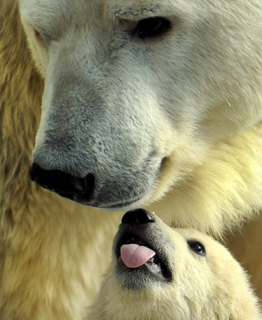 A mother polar bear plays with one of her three cubs born in last November, at the Moscow Zoo, on March 22, 2012.(AFP)