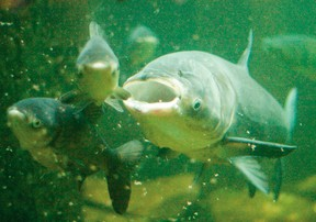 Geoff Peach, coastal resources manager with the Lake Huron Centre for Coastal Conservation, believes closing the Chicago Canal is the only way to stop Asian Carp from potentially reaching the Great Lakes (QMI Agency file photo)