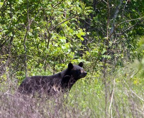 A file photo of a black bear.
