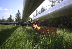 A deer stands under an Imperial pipeline in Cold Lake, Alberta. PHOTO SUPPLIED