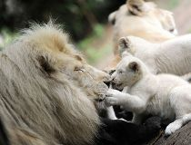 White baby lions born in France_1