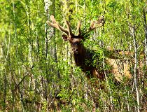 A bull elk in Elk Island National Park
