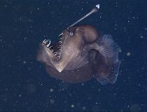 Terrifying 'black sea devil' anglerfish captured on video