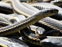 Five hundred snakes discovered at B.C. construction site
