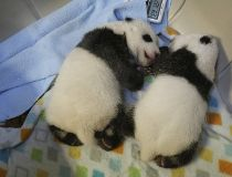The panda cubs are now nearly six weeks old and will be living within the maternity area inside the Giant Panda House at the Toronto Zoo for approximately four to five months. (Toronto Zoo handout)
