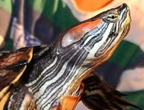 red-earred slider turtle