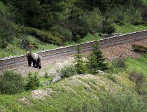 Grizzly bear on the tracks