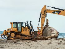 Rotting whale draws gawkers to California beach_3