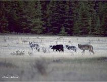 BOW VALLEY WOLF PACK