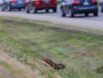 DVP groundhogs