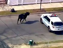 cow on loose
