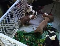 Pit bull puppies stolen