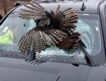 turkey windshield