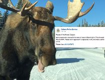 Moose warning Calgary police