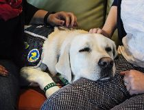 Webster, one of two trauma dogs at the Sheldon Kennedy Child Advocacy Centre