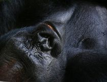 Lowland gorilla FILES Aug. 17/17