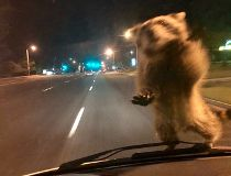 raccoon hitchhiker
