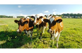 Birkdale Farm provides as much pasture and grass silage as possible to its dairy cows.