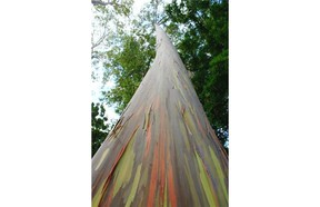 Rainbow eucalyptushas stunning bark with mottled patches of red, pink and green.